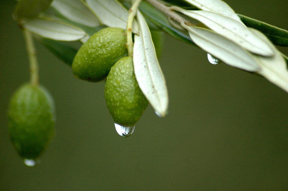 ورق الزيتون بركة وشفاء وأسرار مذهلة