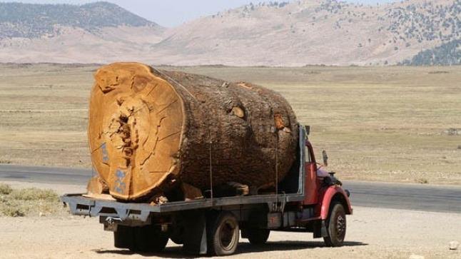 """مافيا الأرز تستنزف غابات ميدلت و """"حماة البيئة"""" يدقون ناقوس الخطر !"""